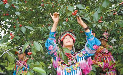 岷江河谷两岸红樱桃挂满枝头