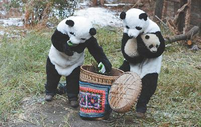 大熊猫野化培训转入更高海拔