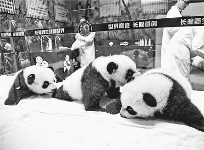 """动物园管理方也正式将这3个""""萌萌哒""""熊猫宝宝以限时"""