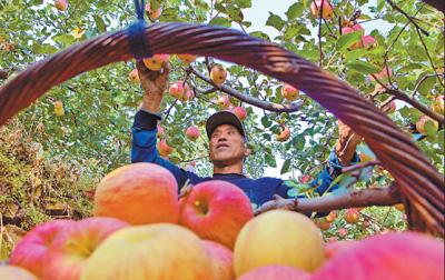 果子熟了 农民富了