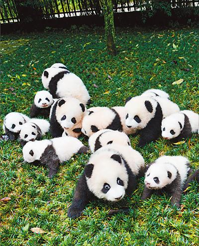 一大群憨萌可爱的熊猫宝宝,萌翻全场.