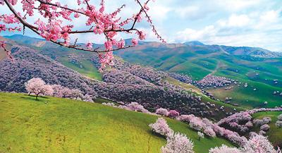 吐尔根的杏花像云霞(美丽中国·春天来了)