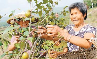 邵阳县油茶面积达40万亩,今年茶油总产有望达600万公斤,油茶成了农民