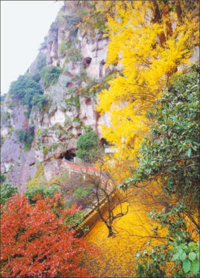 11月末,浙江省建德市大慈岩镇悬空寺内,种植于700多年前的银杏树