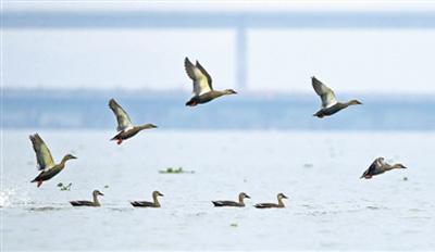 候鸟如约至 浙江开展冬季水鸟调查