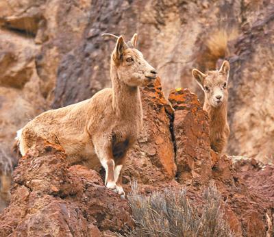 保护力度加大 种群不断恢复:北山羊 跑在天山上