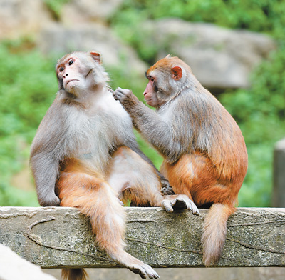 重庆渝北区:挂树群猴跃 峡谷啼声来