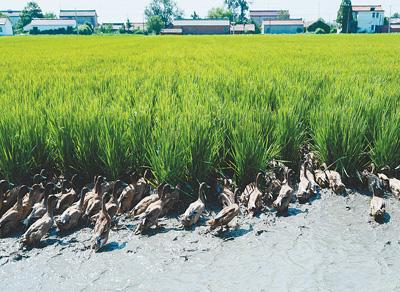 """稻田来了""""鸭管家"""""""