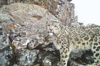 四川卧龙雪豹数量不少于26只
