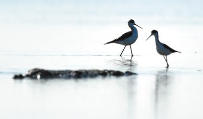 迁徙候鸟在天津北大港湿地栖息
