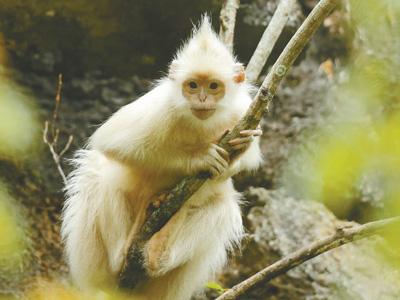 广西发现罕见白化黑叶猴