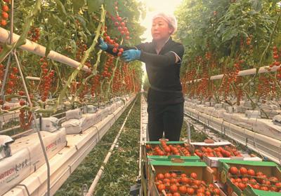 千亩番茄树 铺开脱贫路
