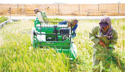 中国农业科学家在阿联酋沙漠中种出海水稻。[阅读]