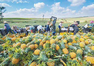 临近春节35万亩菠萝园收获忙