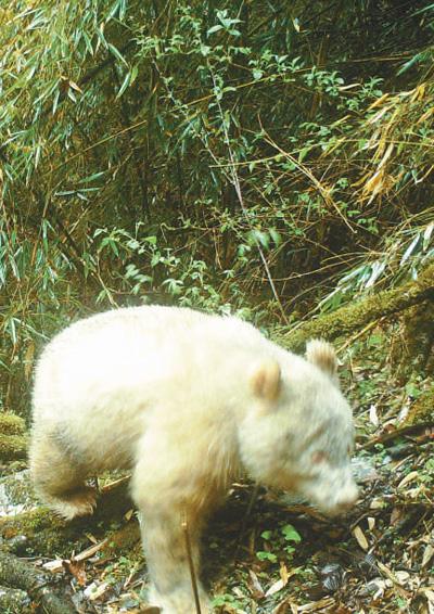 四川�l�F首只白色大熊�