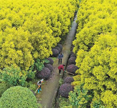 黄金香柳里的东升村
