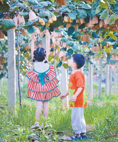 悦园村的猕猴桃熟了(美丽中国·乡村游)