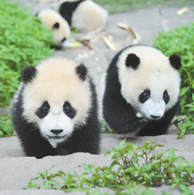 """卧龙成为首个国家级大熊猫自然保护区(新中国的""""第一""""·生态篇)"""