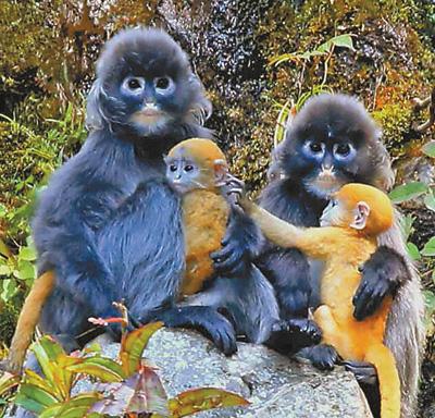 政府成立专业巡护队 保护菲氏叶猴