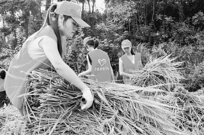 青年志愿者田间抢收《 人民日报 》 - 高坪志愿者 - 高坪志愿者