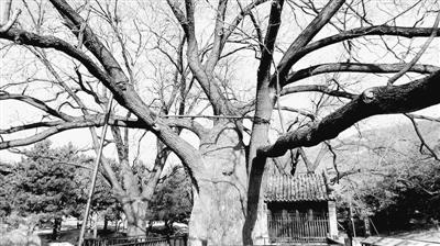 为什么有些树木是空心的 - 胡子 - 胡子的博客