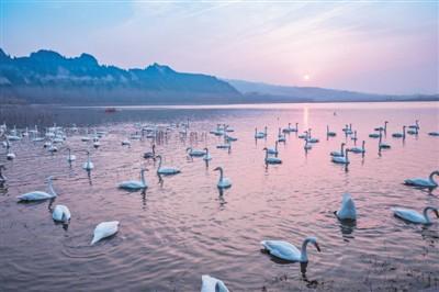 黄河湿地生态美 万千天鹅戏湖水