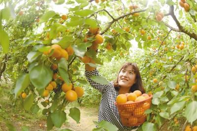 金杏成熟引客来