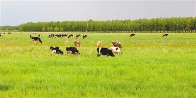 黑龙江省拜泉县,三北防护林守护着牧场,使这里免受风沙侵蚀.