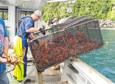 新西兰最大龙虾出口商积极开拓中国线上销售