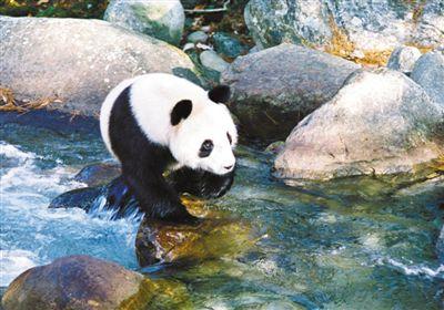 """""""和大熊貓做鄰居,有面子!"""""""