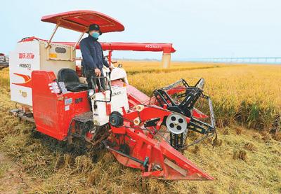 十万亩海水稻测产丰收