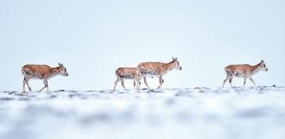 可可西里藏羚羊迁徙产仔季收官 记录回迁藏羚羊6185只