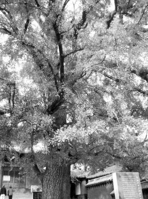 的叶子像把扇,   椭圆果子成嘟噜.   银杏树是风景树,   大家