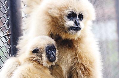 济南动物园一只长臂猿幼崽度过繁殖之初的危险期,目前发育良好。图为幼崽依偎在妈妈怀抱里张望。   吕传泉摄(新华社发)