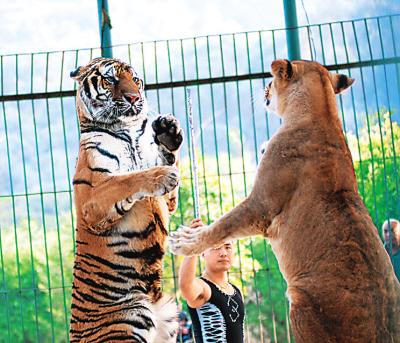 老虎与狮子表演