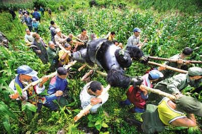 银背大猩猩打架视频