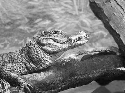 扬子鳄(资料图片)