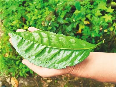 现存千年古茶树50余棵<br>崇州枇杷茶申报中国重要农业文化遗产