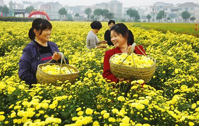 当日,浙江省建德市大同镇富塘村举行采花节,10多位村民穿梭在一片金