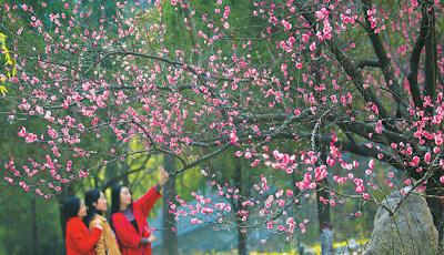 甘肃陇南阳春三月天 梅花香满园