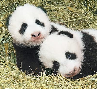 熊猫文化成热点_人人都爱大熊猫