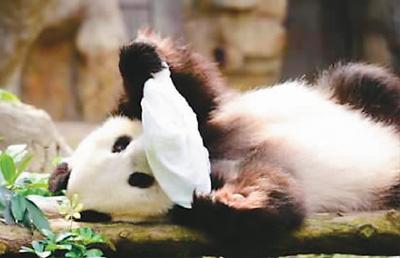"""居港大熊猫的""""港漂""""生活:懂三语 会憋气 喜香气"""