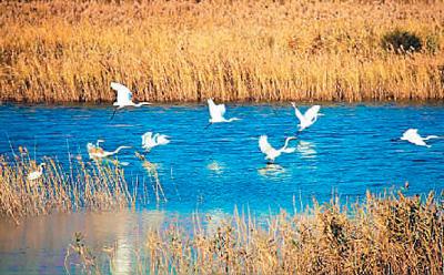 山东省:湿地保护留住野生鸟类