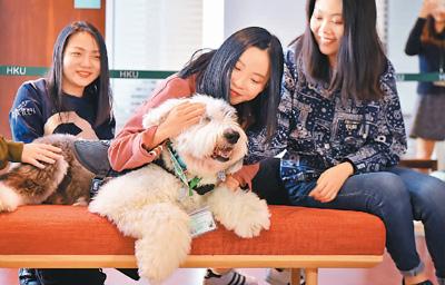 港大引进治疗犬为学生减压