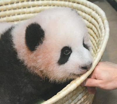 大熊猫活泼可爱,萌态可掬,一直深受世界各国人民的欢迎和喜爱.