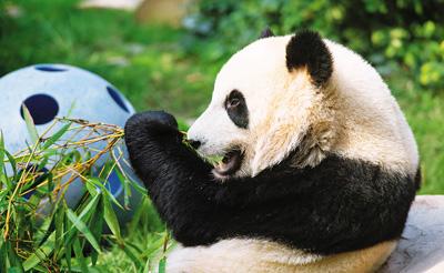 """澳门大熊猫""""健健""""""""康康""""2岁啦"""