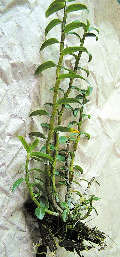 石斛兰常附生于树皮疏松而厚的树干或树枝上