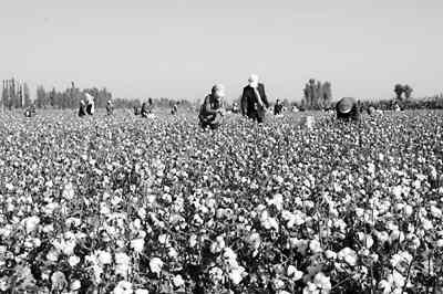 图为甘肃省金塔县丰收的棉田和紧张采摘棉花的农民.