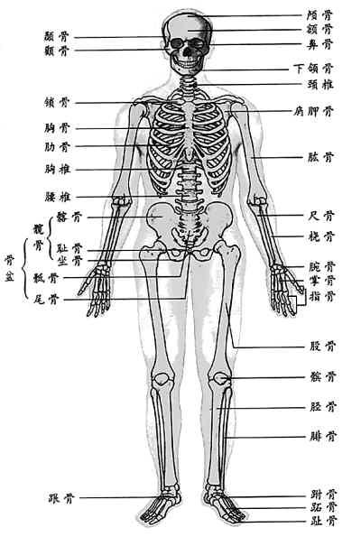 人体骨骼结构图; 中老年女性缺钙易发生腰椎骨折