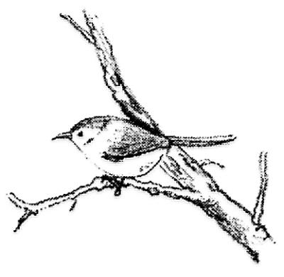 缝叶莺:缝叶莺做巢时,先将向下垂吊的阔大叶子卷拢,然后,用尖尖如